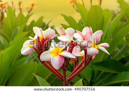 stock photo plumeria spp frangipani flowers frangipani white frangipani flower frangipani white flower white 490707556 - Каталог — Фотообои «Цветы»