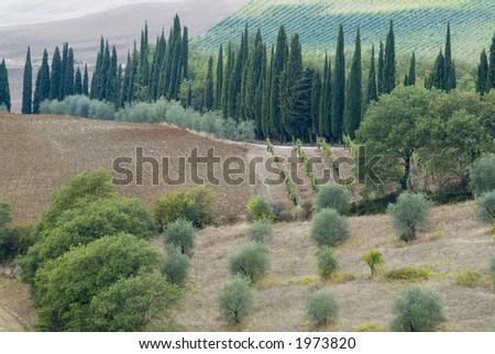 Plump Italian olive tree landscape 06. See more in my portfolio