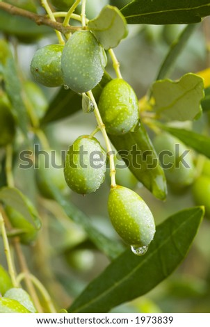 Plump Italian Olives on the tree 25. See more in my portfolio