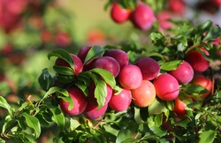 Plums on a branch. A bountiful harvest. Red plums.