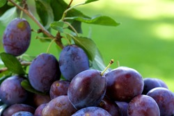 Plums on the tree in a garden