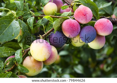 Plums or damsons ripening on a tree branch