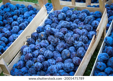 Plums ready for sale. Plums market. Crates full of ripe blue plums. Plums after harvest. Common plum.