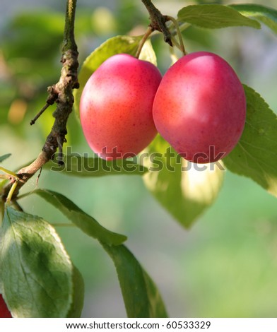 plums ripening on a branch