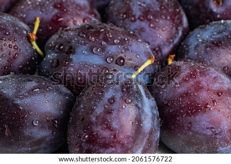 Plums with drops. background of beautiful home plums.