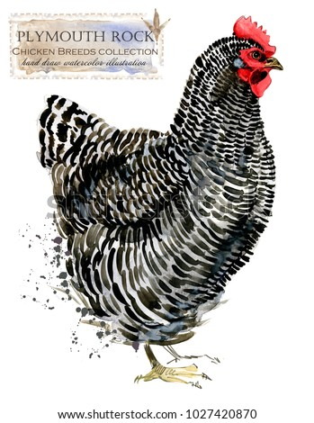 Plymouth hen. Poultry farming. Chicken breeds series. domestic farm bird
