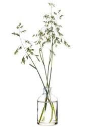 Poa pratensis (Kentucky bluegrass or blue grass) in a glass vessel with water