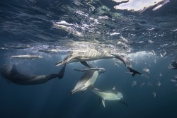 Pod of common dolphins has trapped a school of sardines against the surface so they can feed on them. Image was taken just south of the Eastern Cape town of Port St Johns during the sardine run.
