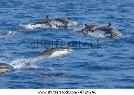 pod of dolphins leaping out of the water