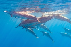 Pod of dolphins swimming near ocean surface in clear blue water