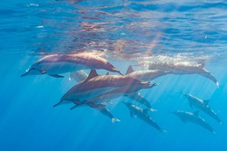 Pod of dolphins swimming near surface of clear blue ocean