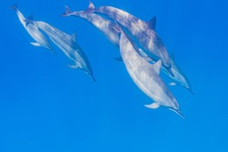 Pod of dolphins with baby dolphin diving from surface of clear blue tropical ocean