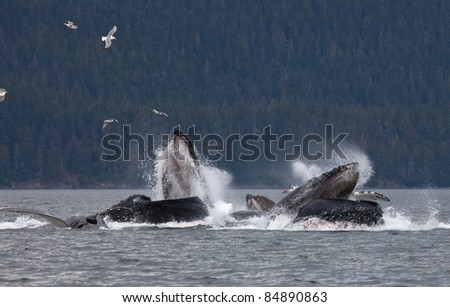 Pod of humpback whales bubble net feeding off the coast of Juneau, Alaska.