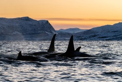 Pod of killer whales at sunset, Kvaenangen fjord area, northern Norway.