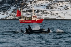 Pod of killer whales swimming with a fishing boat in the background, Kvaenangen fjord area, northern Norway.