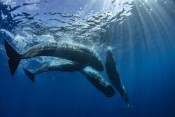 Pod of sperm whales underwater in blue ocean background