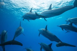 Pod of spinner dophins on blue water background underwater shot