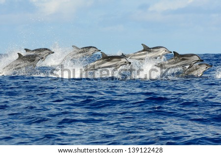 Pod of striped dolphins Azores