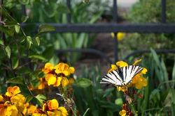 Podalirius, butterfly family swallowtails (Papilionidae) on bright yellow flowers of Erysimum or wallflower, ornamental garden plants of the genus Erysimum, Cruciferous or Cabbage (Brassicaceae).