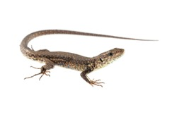 Podarcis muralis (common wall lizard)