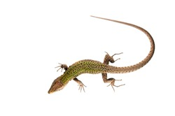 Podarcis muralis (common wall lizard) male