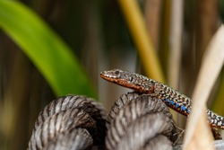 Podarcis muralis (common wall lizard) on a rope, Lizard over a wire