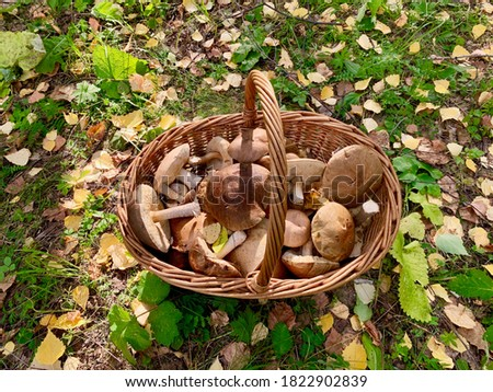 Podberezoviki white mushrooms in a wicker basket in the autumn forest Zdjęcia stock ©