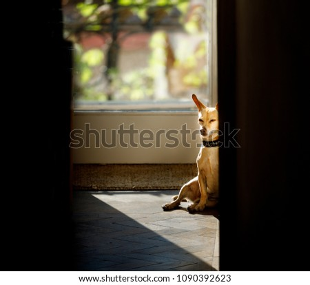 podenco dog enjoying the warm sun or resting , while sunbathing at home , all is calm and silent #1090392623