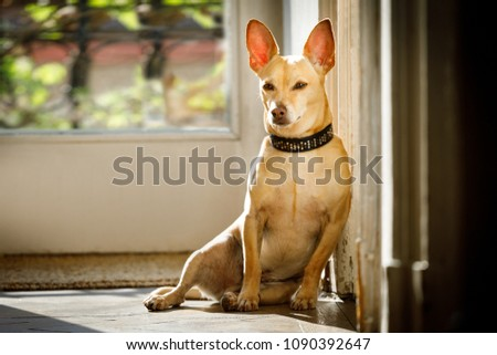 podenco dog enjoying the warm sun or resting , while sunbathing at home , all is calm and silent #1090392647