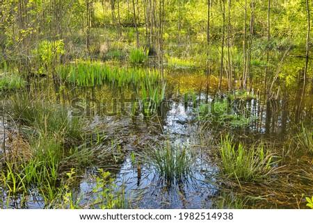 Podtopione drzewa i trawy ,odbicie błękitnego nieba w wodzie leśnego bagna wiosną.Poland in May.Horizontal view. Zdjęcia stock ©