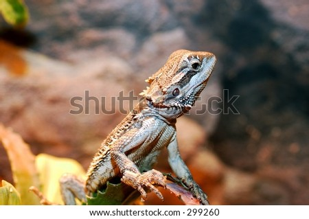 Pogona vitticeps, bearded agaam. A reptile originating from australia.