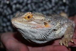 Pogona Vitticeps Lizard on human hands. Also called Dragon bearded for the presence of scales under the neck that swell when it is angry. Beautiful reptile. World Lizard Day. International Reptile Day
