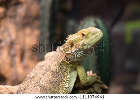 Pogona vitticeps with light green skin walks in nature. Wild life and reptiles concept. Iguana rests on wooden branch, close up. Bearded dragon on blurred natural background, selective focus