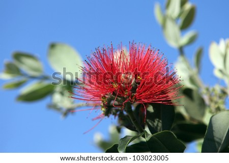 Pohutukawa Flower, known as the New Zealand Christmas Tree