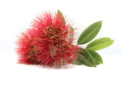 Pohutukawa flowers picked from the Pohutukawa tree and placed against a white background.
