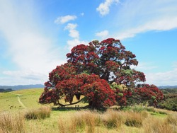 Pohutukawa native christmas tree in New Zealand