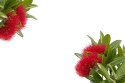 Pohutukawa - New Zealand Christmas tree on white  background