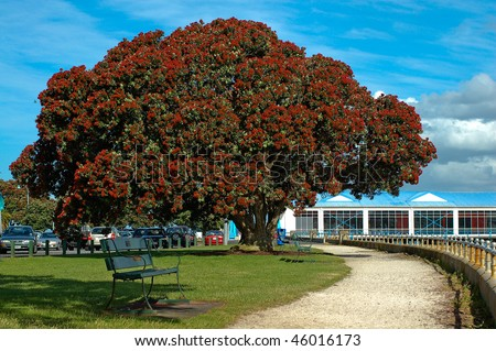 Pohutukawa or Christmas Tree Taken in Auckland Devonport, New Zealand