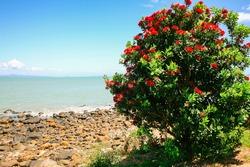 Pohutukawa tree at the ocean coast with copyspace