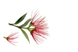 Pohutukawa tree flowers isolated on white background with copy space