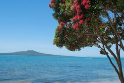 Pohutukawa tree in bloom with Rangitoto Island on the background