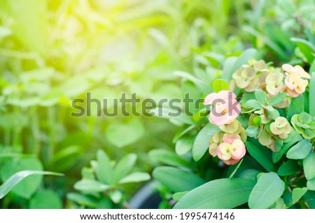 Poi sian flowers are blooming in the midst of beautiful nature. Photo stock ©