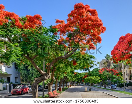 Poinciana  trees blooming at Boulevard Rothschild in Tel Aviv. Foto stock ©
