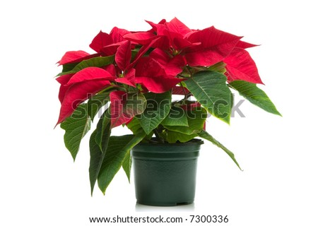 Poinsettia a.k.a Christmas flower, isolated on a white background.