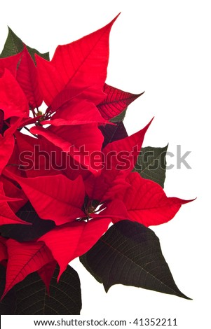 poinsettia christmas flower isolated on white - stock photo