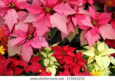 Poinsettia (Euphorbia Pulcherrima) : Bloom in Yellow, Pink, Red Colors