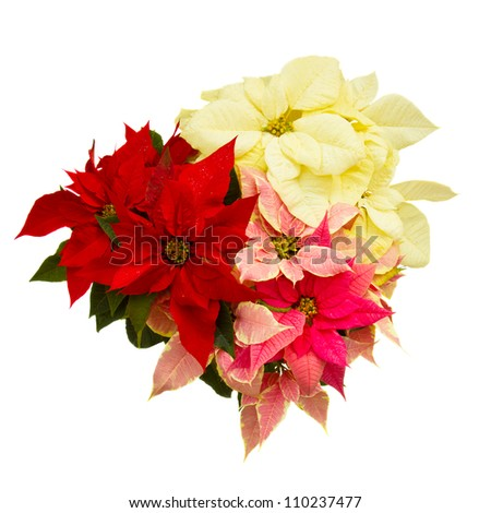 Poinsettia flower (christmas star) isolated on a white background