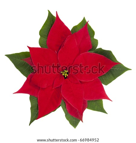 Poinsettia flower isolated on white. Clipping path.