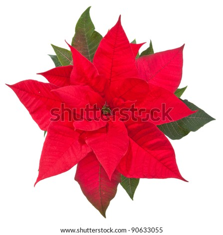 poinsettia flower on white background, top view
