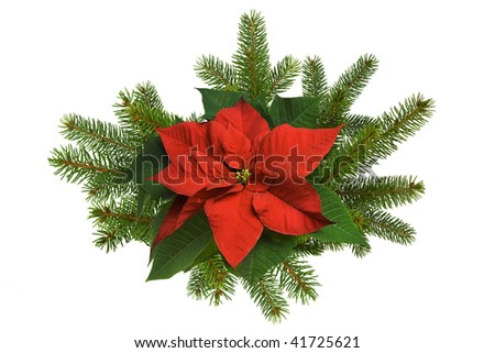 Poinsettia flower with spruce branches on white